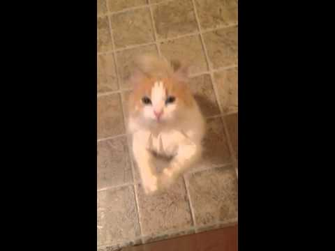 Cat Begs For Treat
