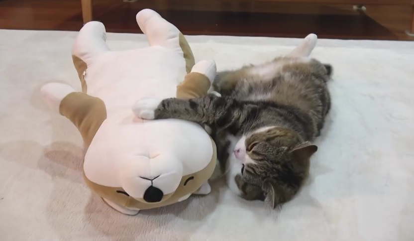 Maru Sleeps With The Shiba Inu