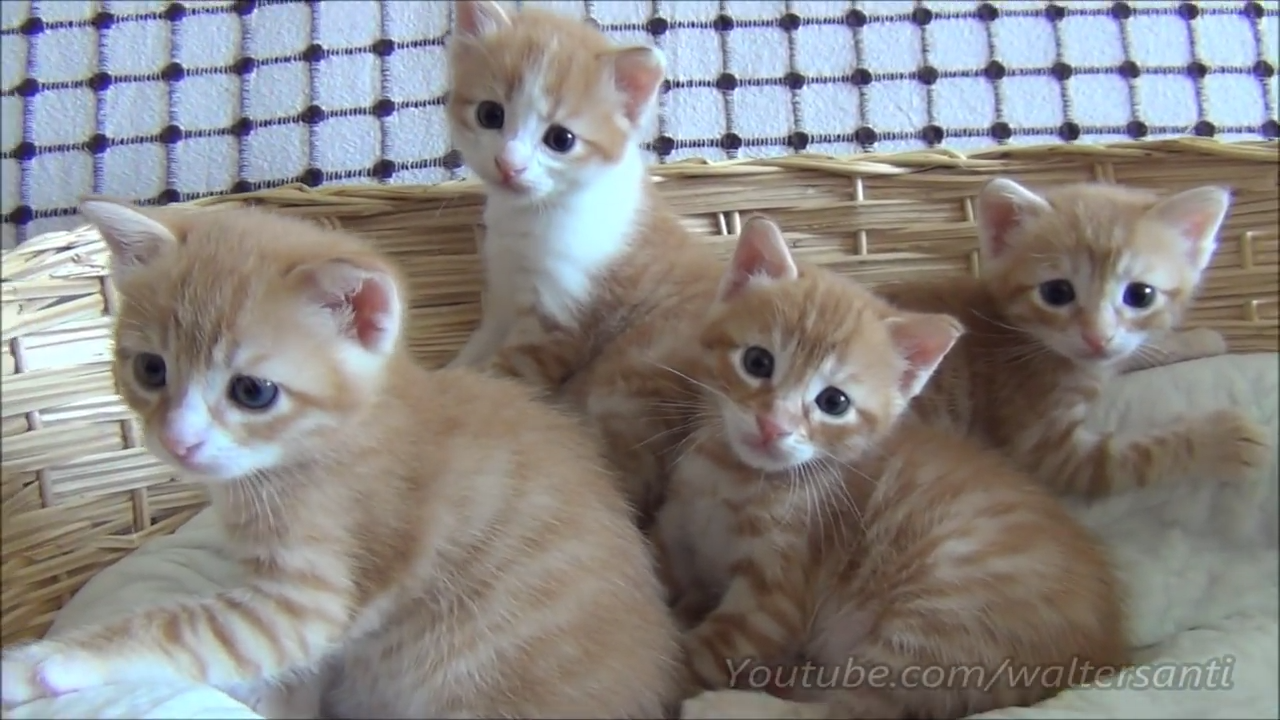 Four cute ginger kittens