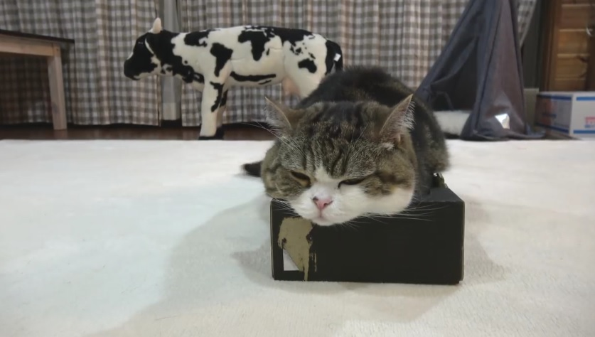 Maru And Hana Choosing Box