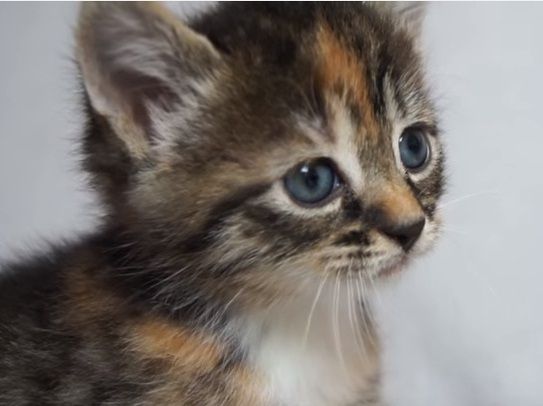 Baby Kitten Meows