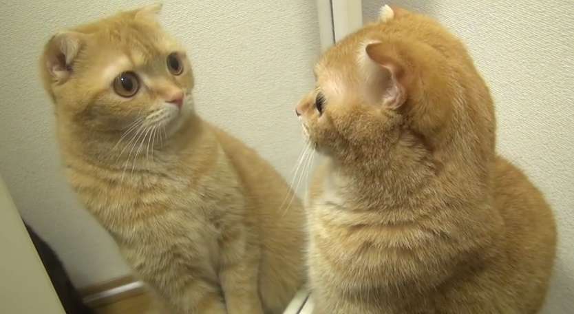 Cats In Mirrors Funny Reactions
