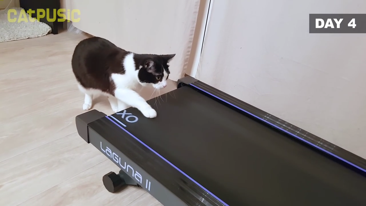 Cat learns how to use treadmill