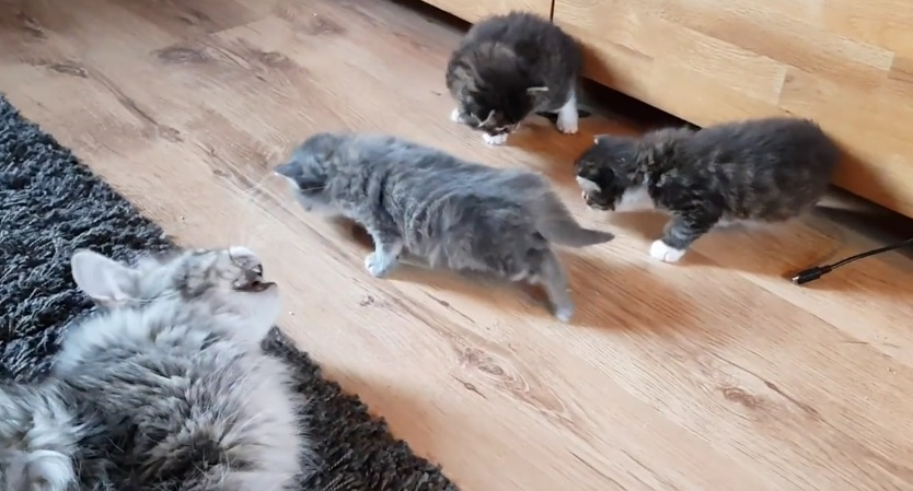 Maine Coon Mother Talks With Kittens