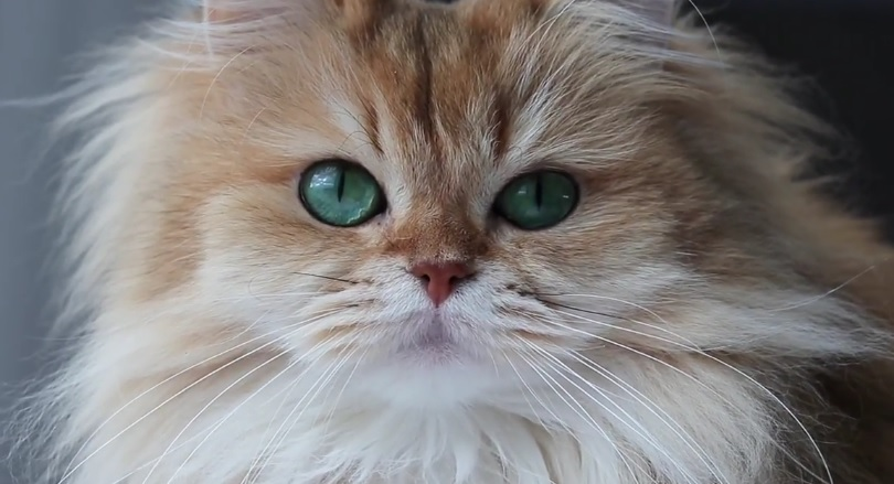 Smoothie The Cat Close Up