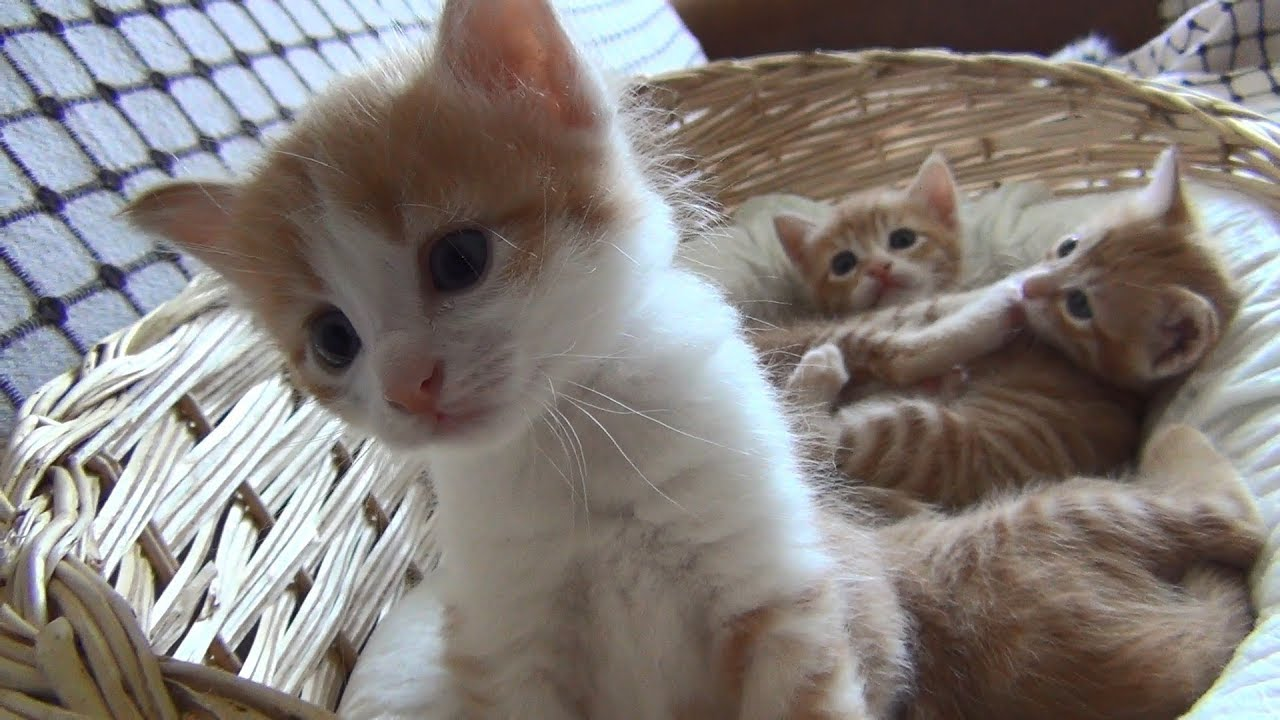 Four cute squeaky ginger kittens and their mom
