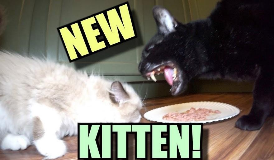 Talking Kitty Cat  - Meet The New Kitten