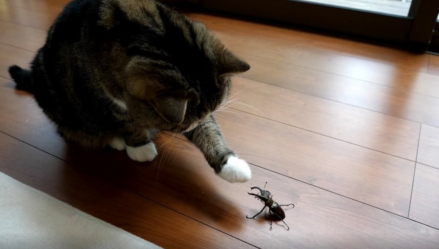 Maru And Hana Meet Stag Beetle