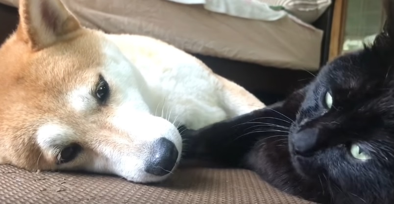 Cat And Shiba Inu Snuggle Together