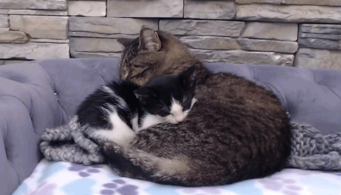 Cute little kitten snuggling with an older cat
