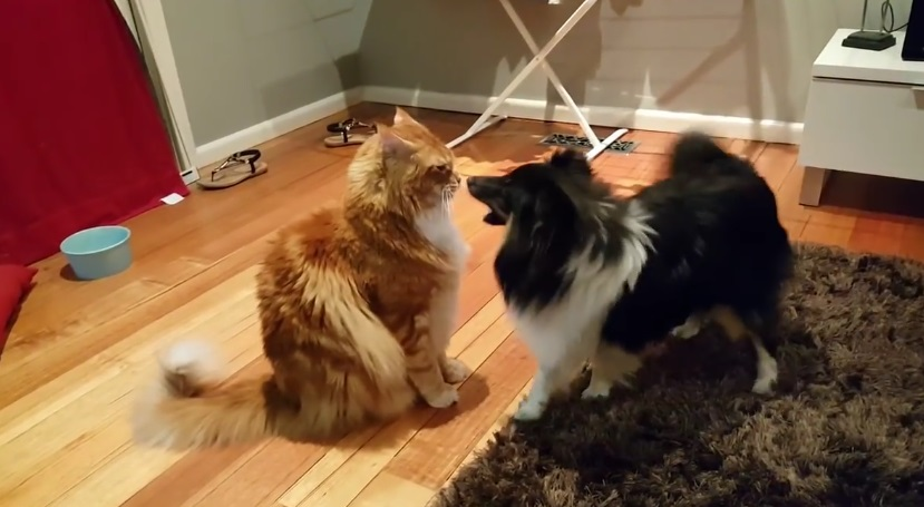 Maine Coon And Dog Playing