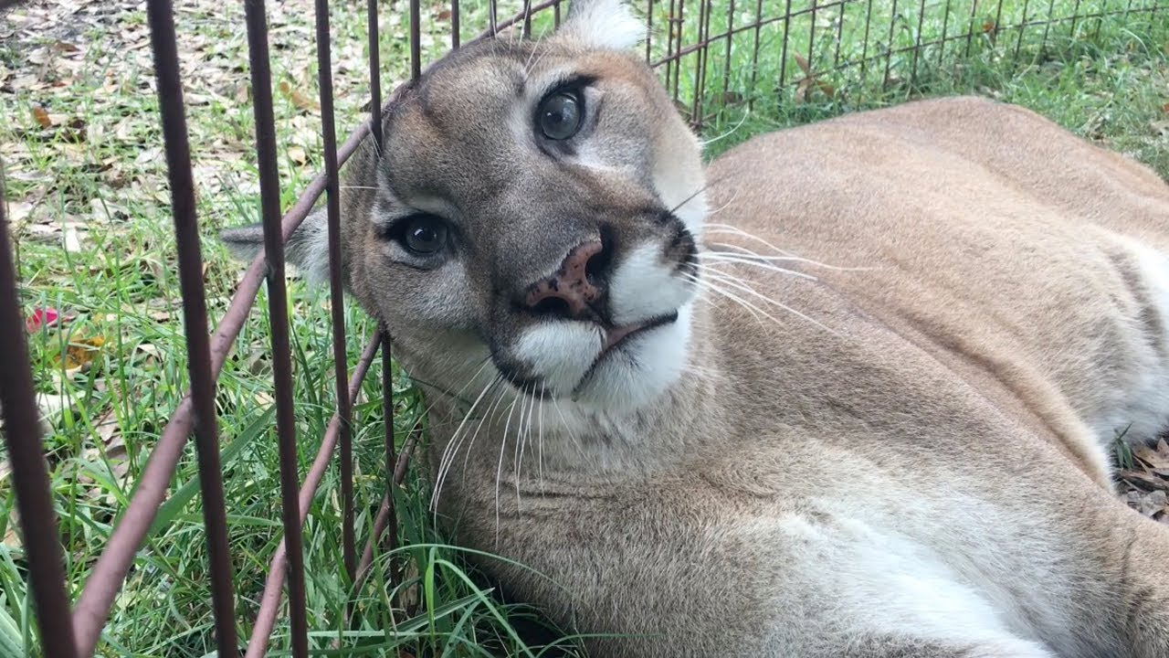 Cougars - The largest species of cat that can still meow and purr