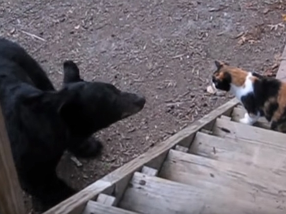Thug Life Cat Scares Bear