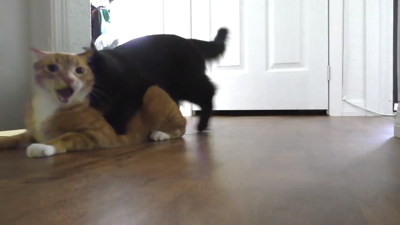 The crazy Cole and Marmalade! Cat fight!
