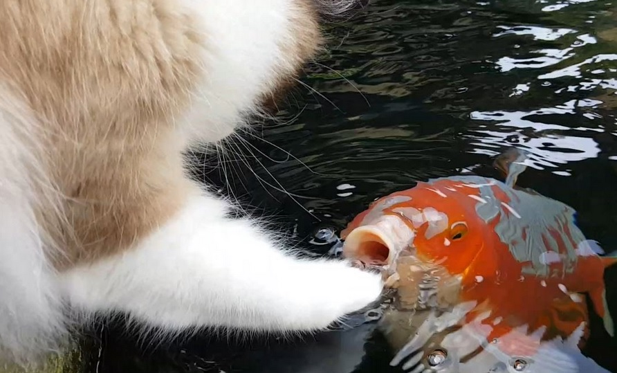 Cute Interaction Between Cat And Fish