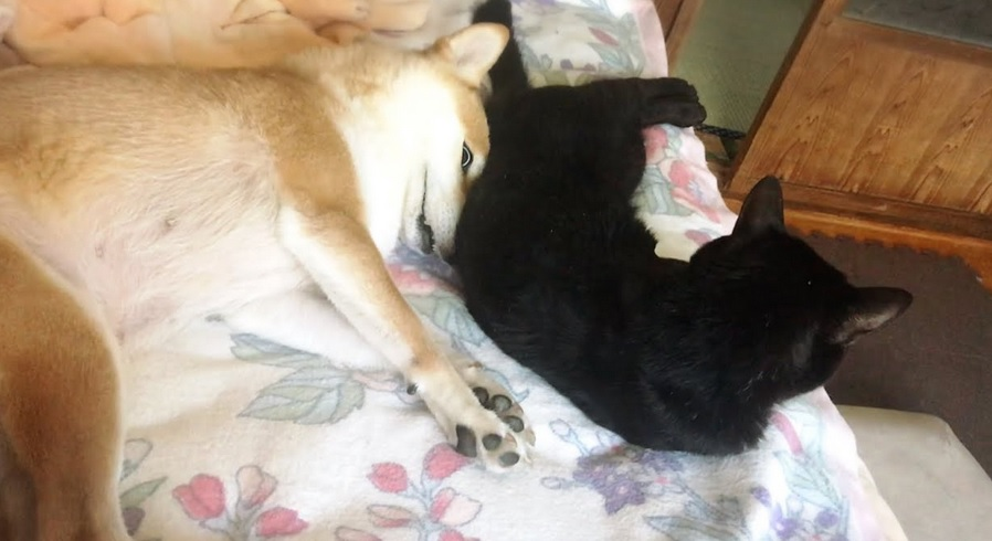Cat And Shiba Inu Relaxing