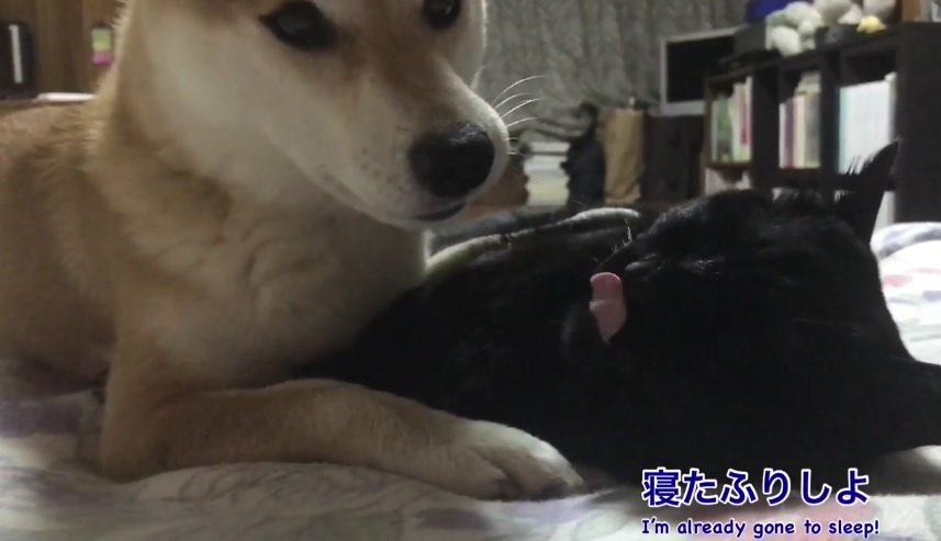 Playful Shiba Inu And Sleepy Cat