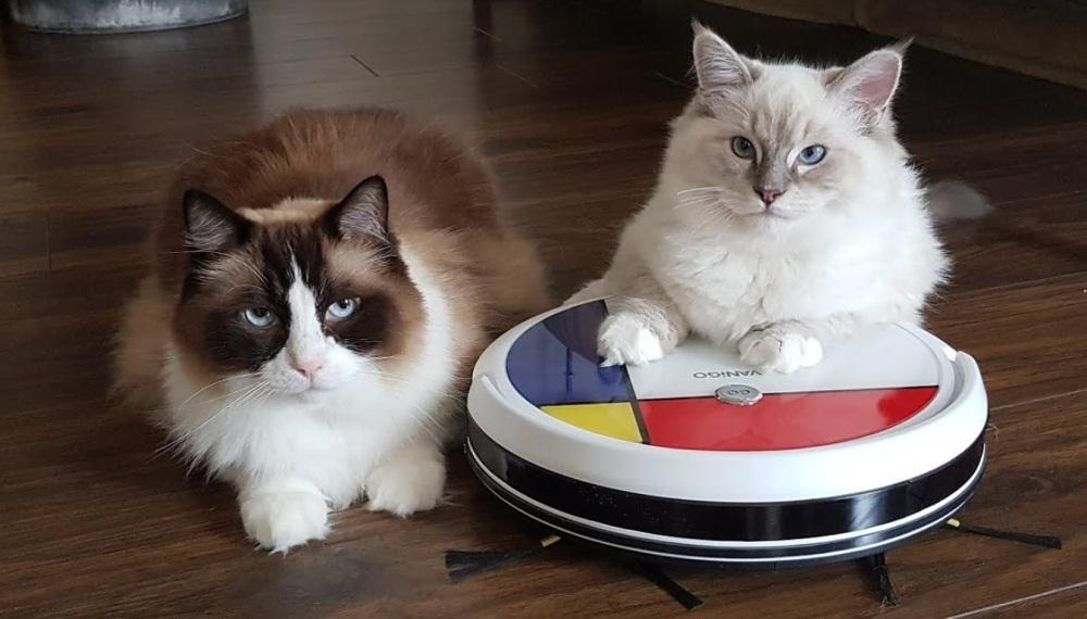 Ragdoll Cats Vs Robot Vacuum