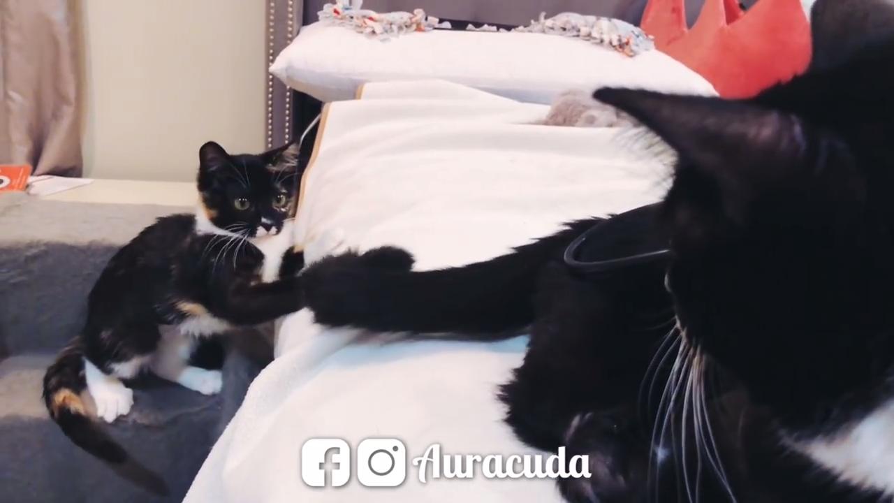 Cute kitten attacks tail
