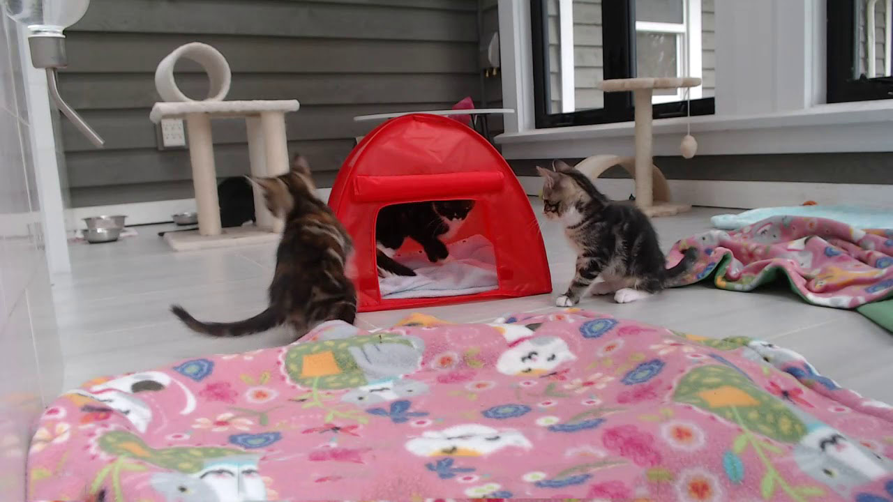 Kitten tent and playful kittens
