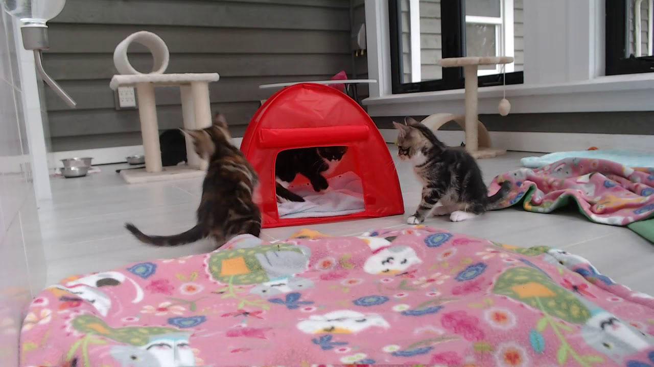 Kitten tent and playful kittens