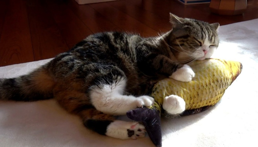 Maru Plays With Fish