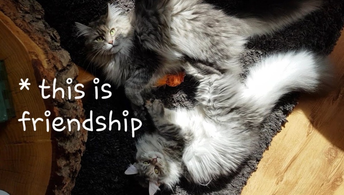Maine Coons Frienship