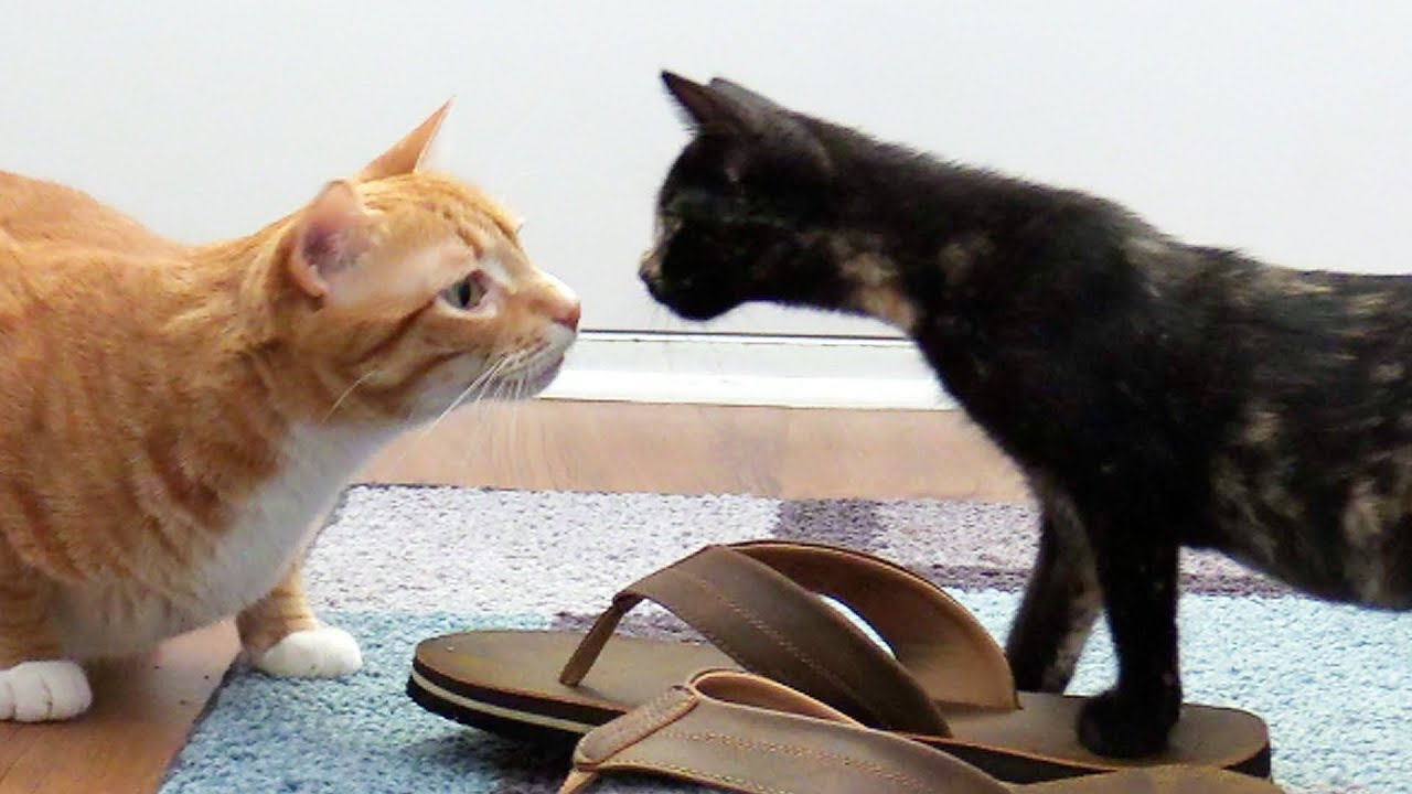 How to introduce cats to new kittens