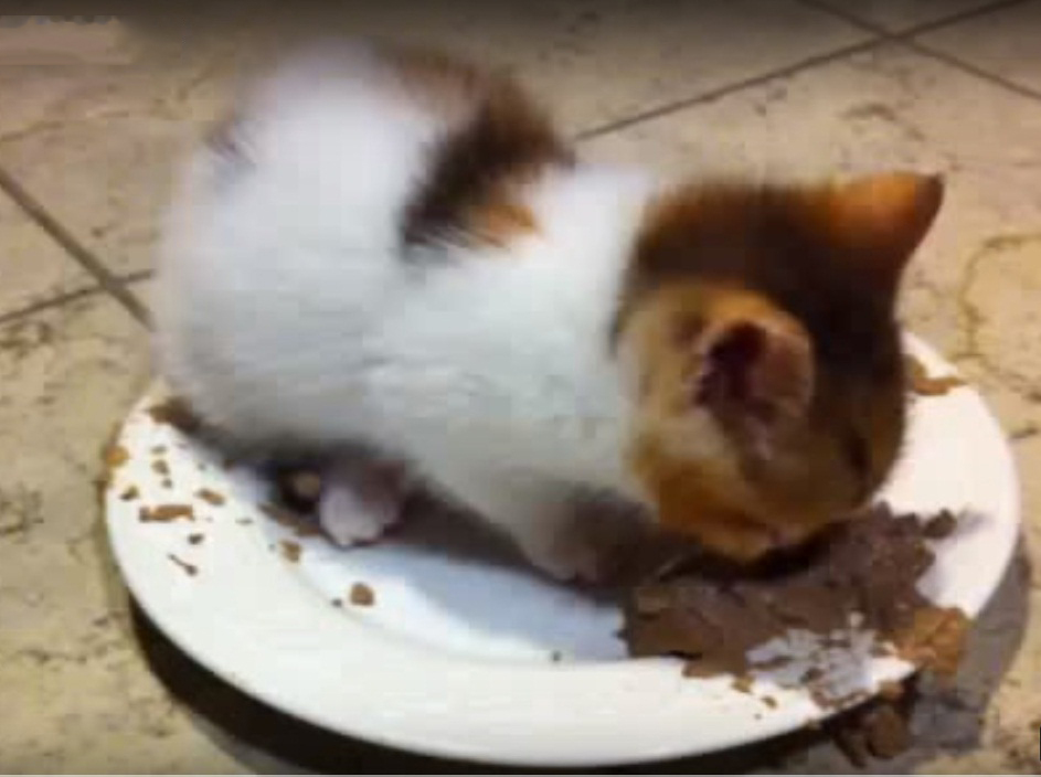 Little cute kitten purring in food