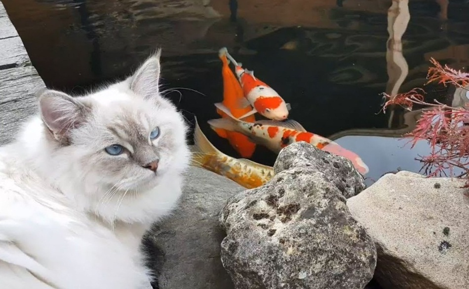 Ragdoll Cats By The Pond