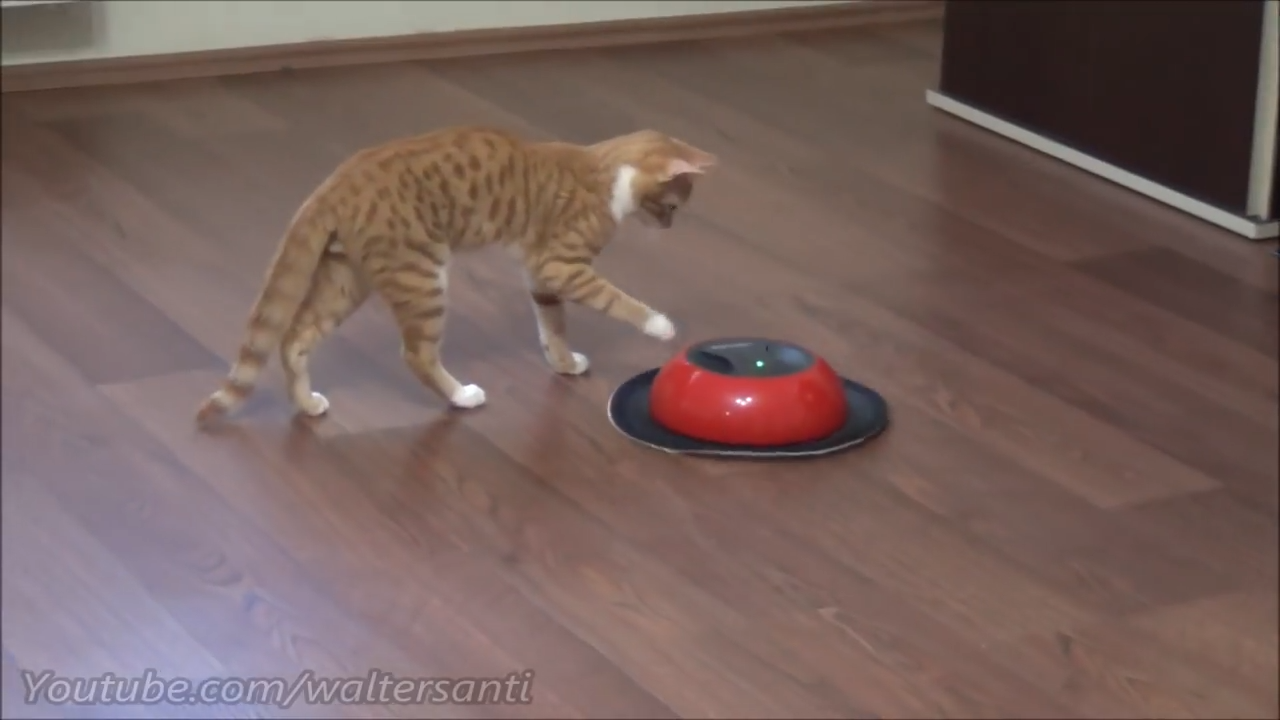 Brave kitten fights the cleaning robot