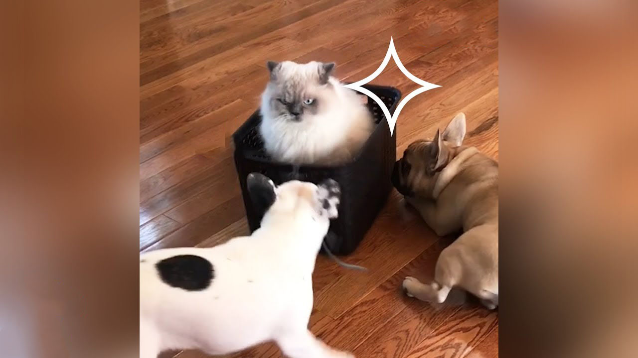 Royal Meowjesty entertained by two slave dogs