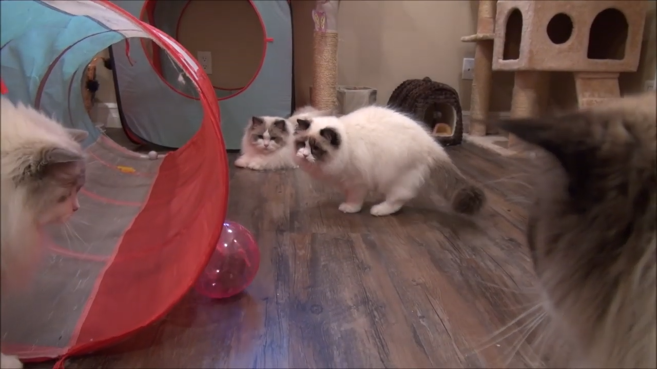 A hamster and eight Ragdoll cats