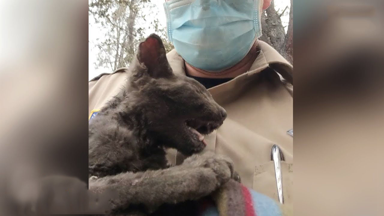 The amazing story of Vulcan, the kitten that survived a wildfire