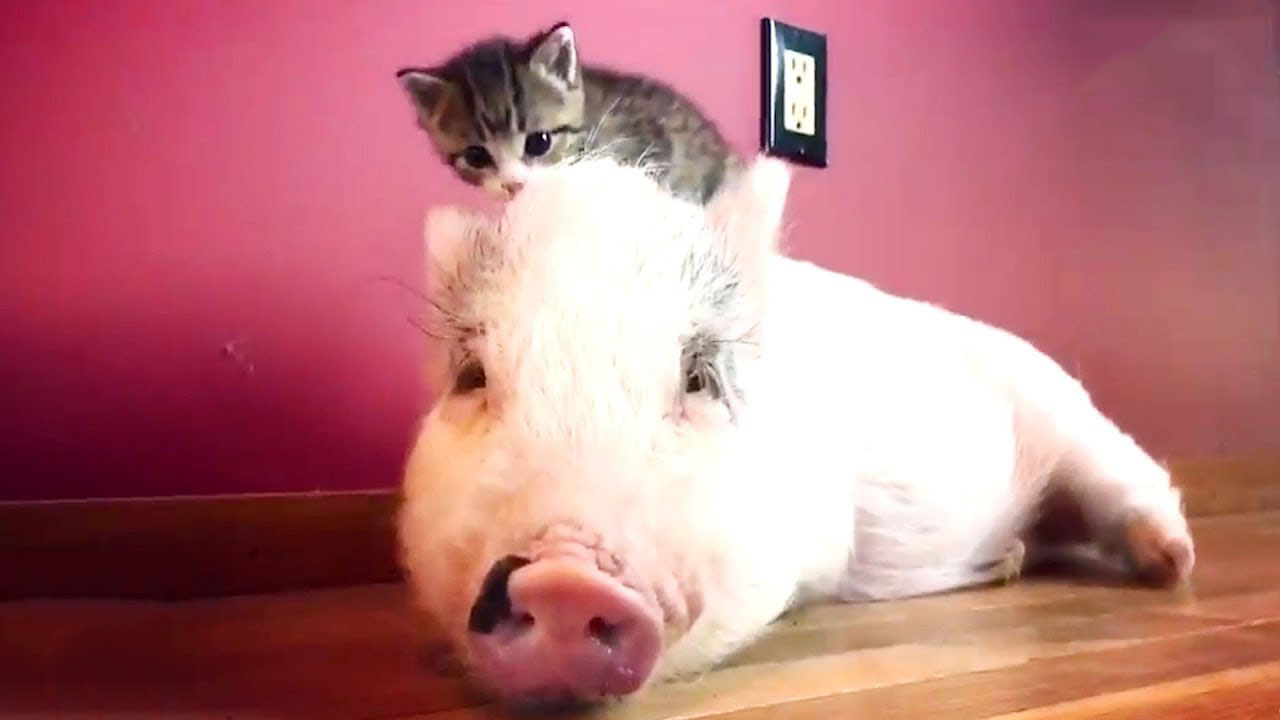 After being raised by cats, this pig thinks he's one of them now