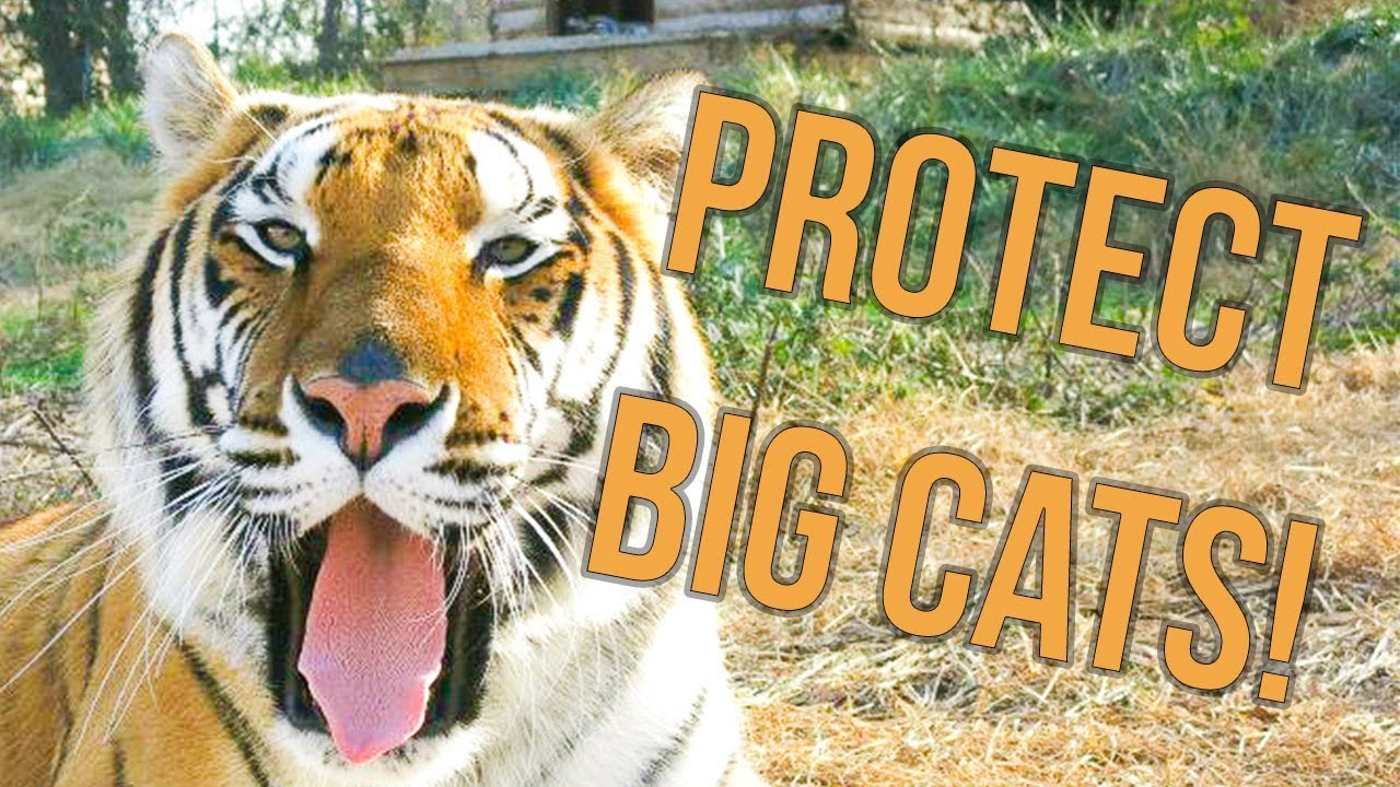Big cats belong in the wild