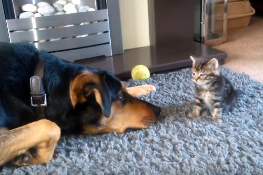 Small Kitten Meets Big Dog