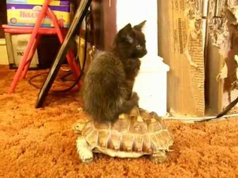 Kitten Riding Tortois