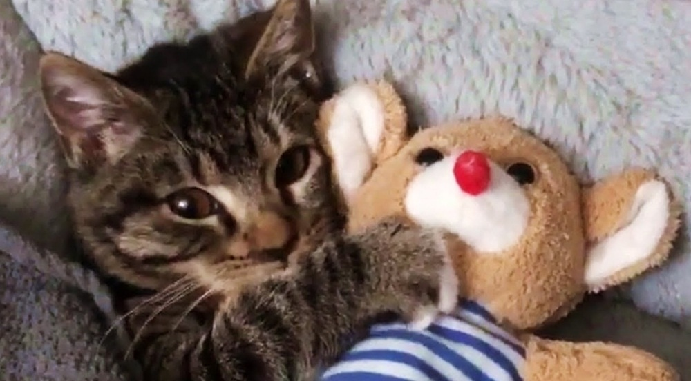 Cute Cat Only Sleeps With Her Toy