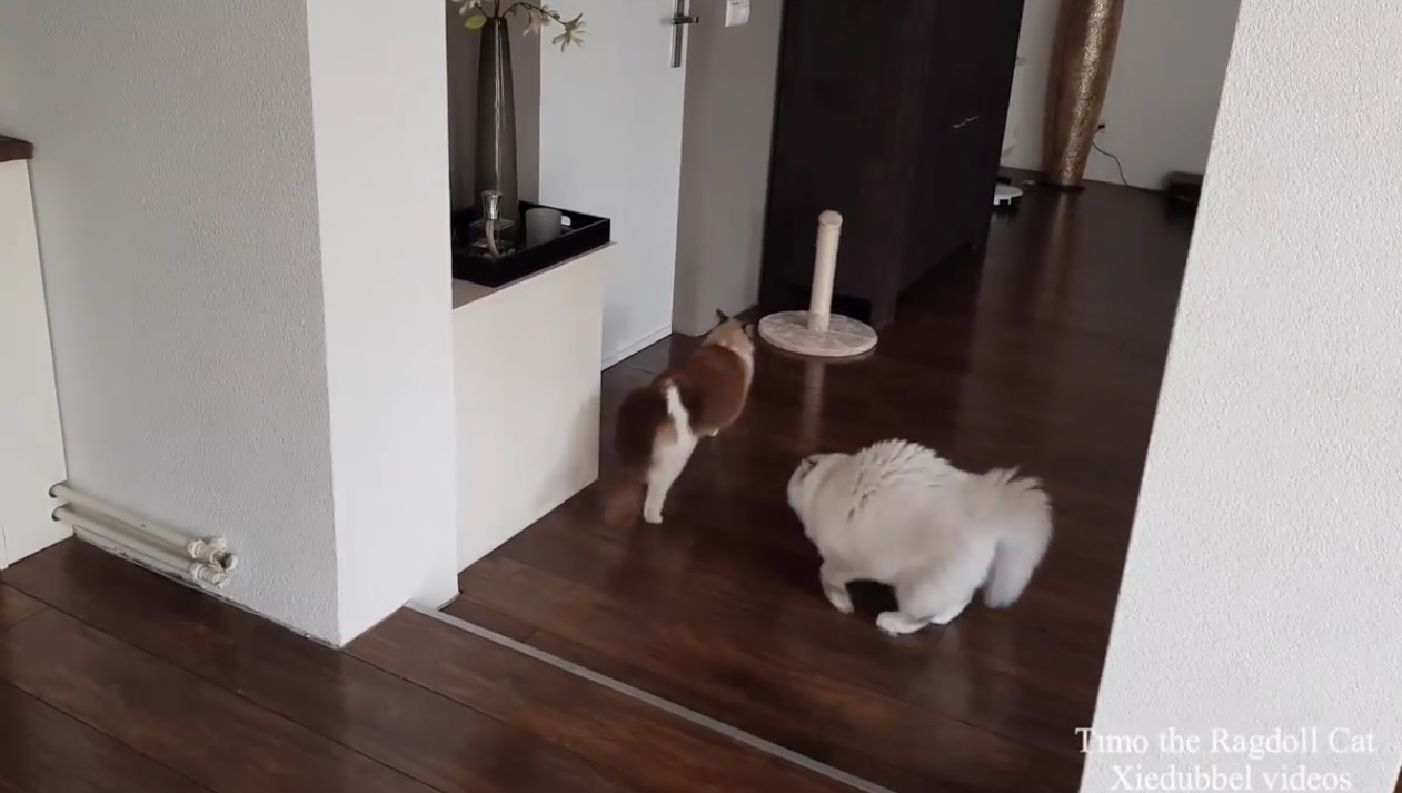 Toby The Ragdoll Is Feeling Playful
