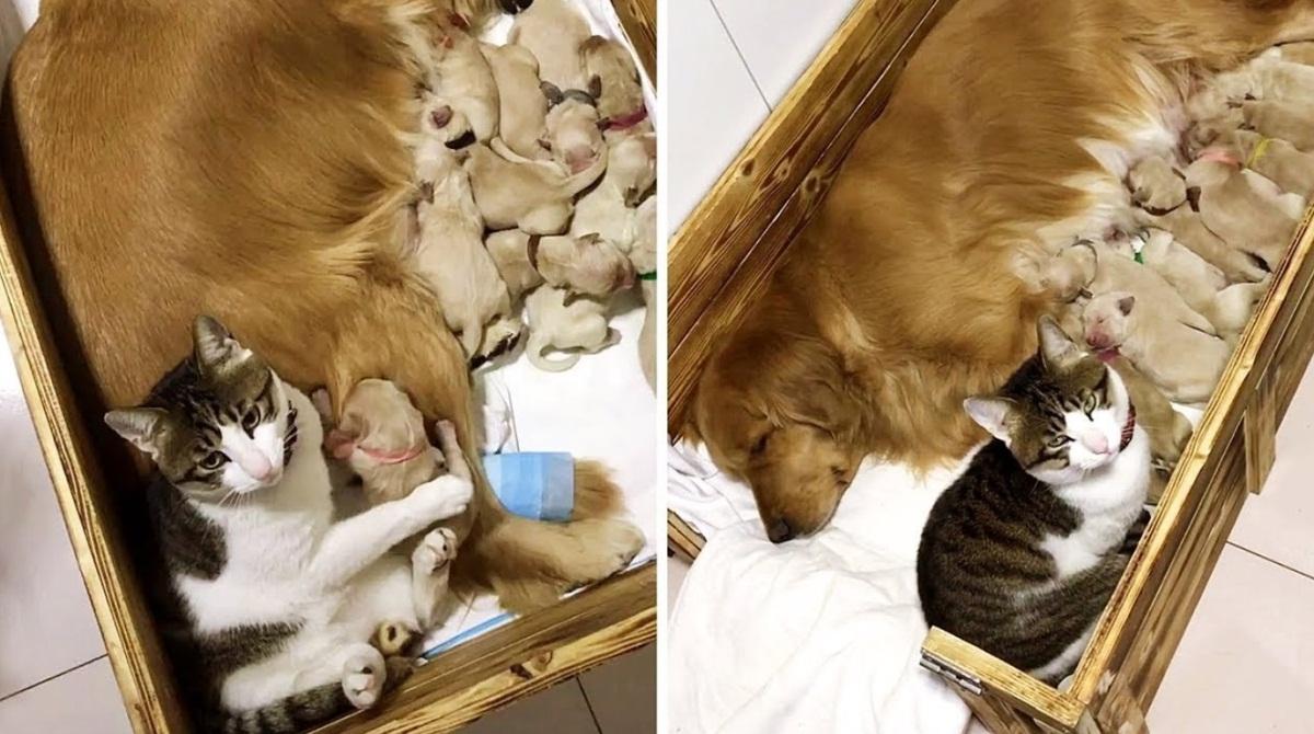 Cat Comforting Newborn Puppies