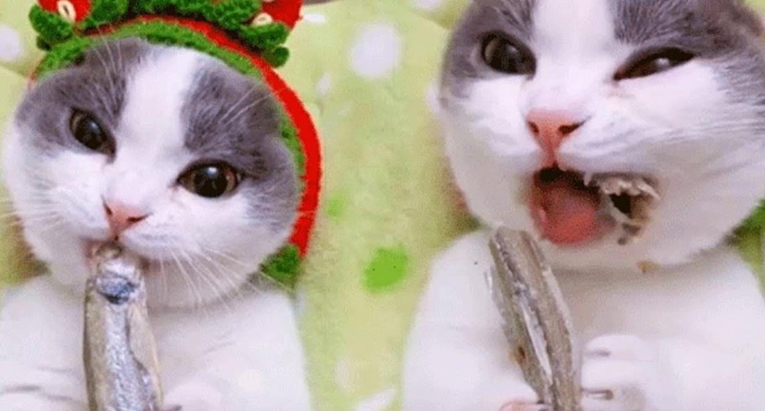Cute Kitty Eating Dry Fish