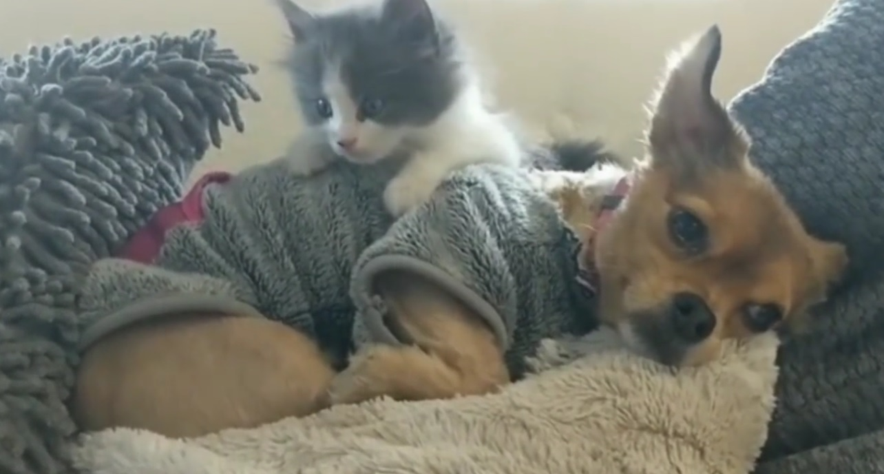 Foster Kitten Loves Her Friend
