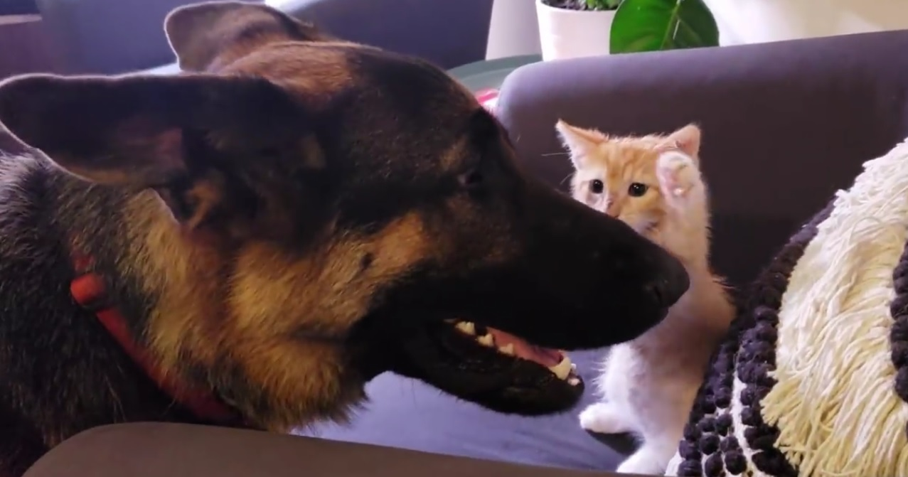 German Sheppard And Kitten Become Best Friends