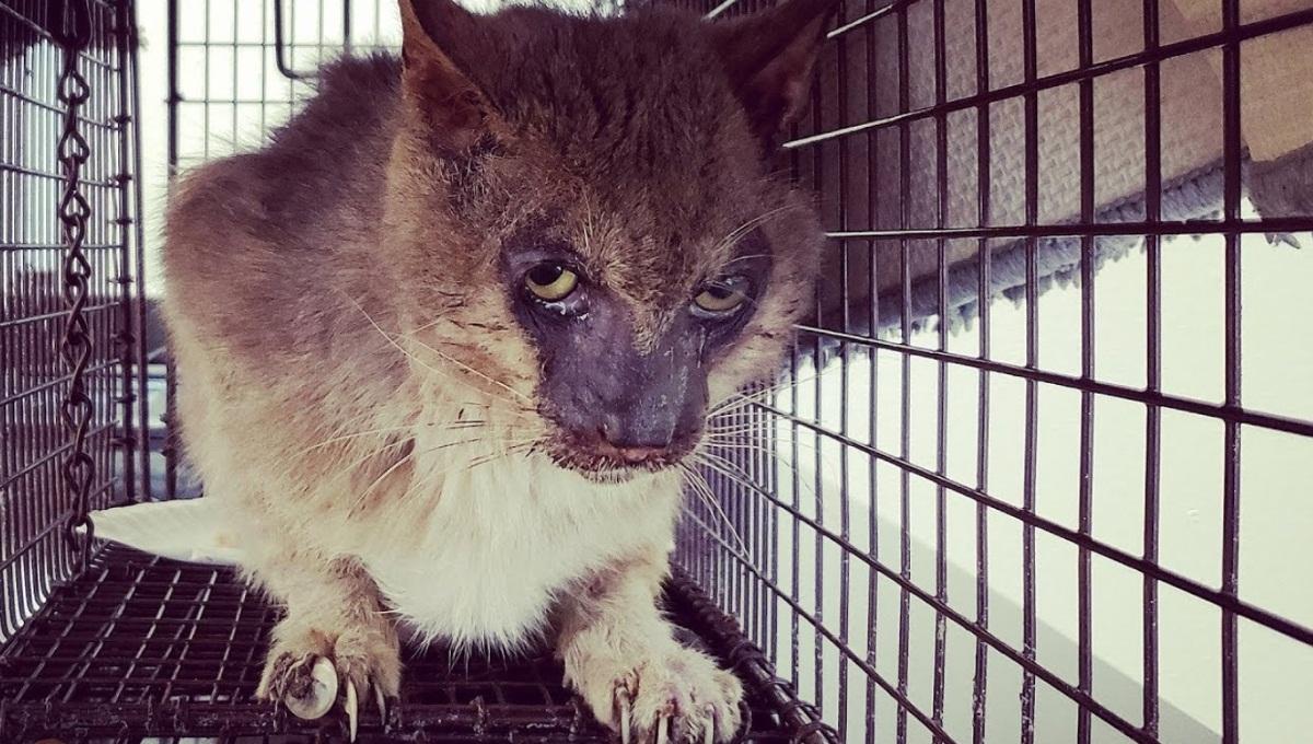 Werewolf Cat Rescued