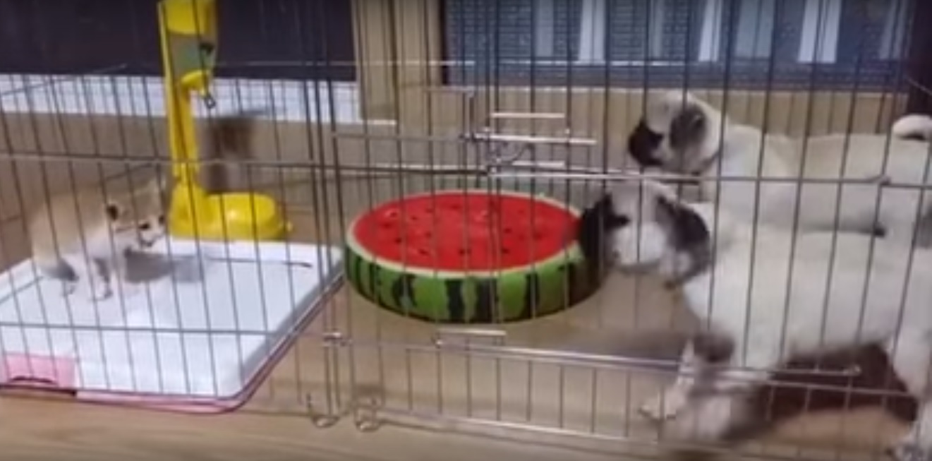 Two puppies get really scared because of this cute kitten