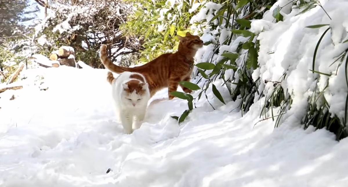 Shiro And Tora In The Snow