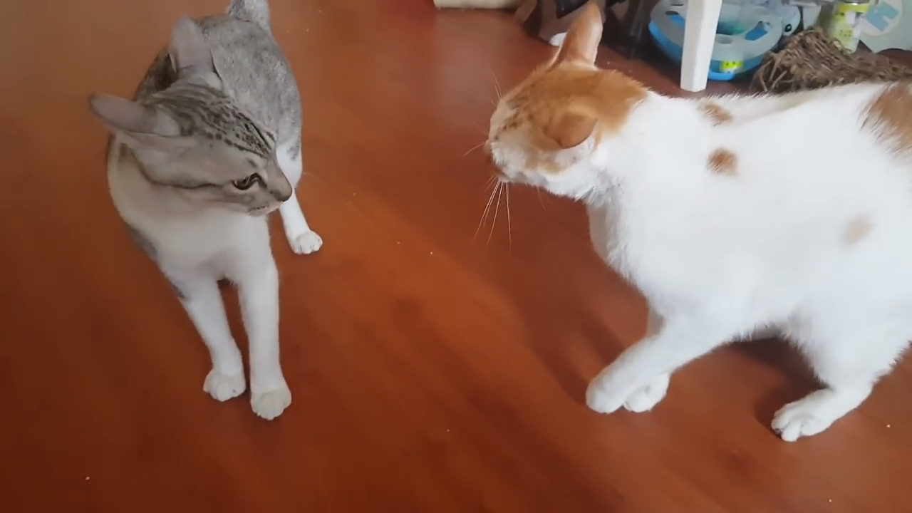 A wrestling sparring match between two cats