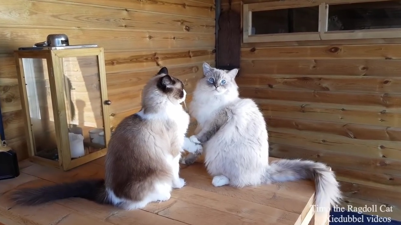 Ragdoll Cats Playing