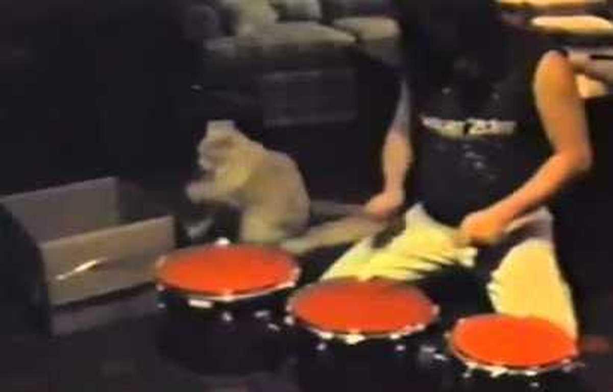 Drummer Cat
